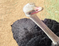 Ostrich bird Stock Image