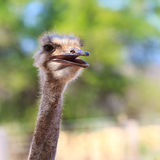 Ostrich bird in closeup Stock Photo
