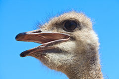 Ostrich bird in closeup Stock Photography