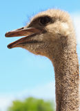 Ostrich bird in closeup Stock Photos