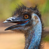 Ostrich bird in closeup Royalty Free Stock Photo