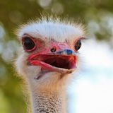 Ostrich bird in closeup Royalty Free Stock Photos