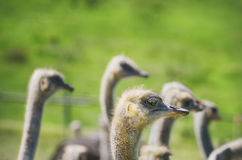 Ostrich Bird Farm Royalty Free Stock Image