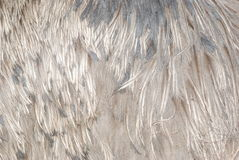 Ostrich bird feather Stock Image