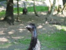 Ostrich Royalty Free Stock Photos