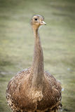 Ostrich bird front portrait in the park Royalty Free Stock Photos