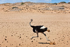 Ostrich. Bird giant running savannah africa namibia sand stone bush Royalty Free Stock Photo