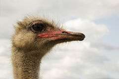 Ostrich bird head and neck front portrait Royalty Free Stock Photos