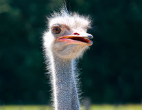 Ostrich bird head and neck front portrait in the farm Royalty Free Stock Photography