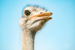 Ostrich bird head and neck front portrait in the park stock images