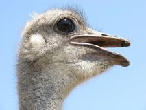 Ostrich, Bird, Head, Wings, Feather Stock Photo