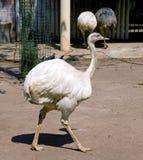 Ostrich bird neck  beak plumage savanna Stock Image