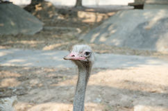 Ostrich bird and neck in the park Stock Images
