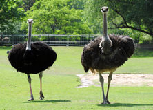 Ostrich birds Stock Image