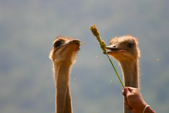 Ostrich birds Royalty Free Stock Photo