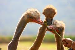 Ostrich birds Royalty Free Stock Photos