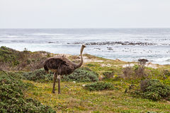 Ostrich birds in a grassland Royalty Free Stock Images