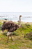 Ostrich birds in a grassland Stock Photography