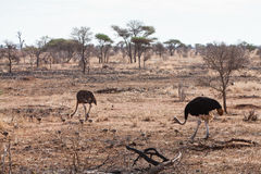 Ostrich birds with youngsters Stock Photography