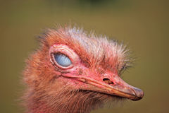 Ostrich blinking. Ostrich with its inner eyelid closed Royalty Free Stock Photos