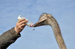 Ostrich with bottle for feeding Royalty Free Stock Photos