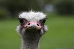 0241 Ostrich. Ostrich bred in South Africa Stock Photos