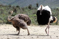 Ostrich Breeding Pair Royalty Free Stock Photos