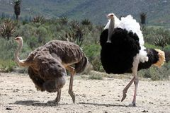 Ostrich Breeding Pair. Handsome male ostrich with beautiful feathers displaying to it's mate Stock Photo