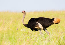 Ostrich in breeding plumage Stock Images