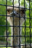 Ostrich in a cage. Head of a big-eyed ostrich in a zoo cage Stock Images