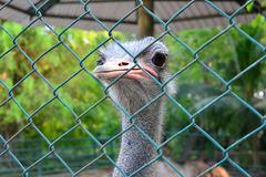 A ostrich in cage Royalty Free Stock Images