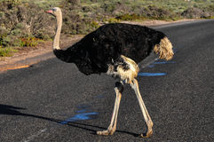 Ostrich - Cape of Good Hope - South Africa Royalty Free Stock Photography