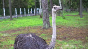 Ostrich in captivity Royalty Free Stock Images