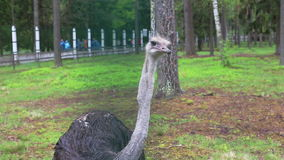 Ostrich in captivity Stock Photos