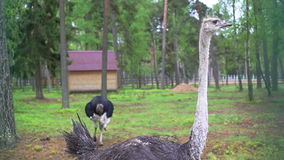 Ostrich in captivity stock video footage
