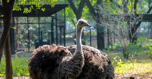 Ostrich. Captured at a local zoological park Stock Photography