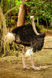 Ostrich on the Caribbean island of Mucura Colombia Royalty Free Stock Image