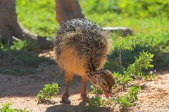 Ostrich Chic Feeding. With dads huge foot out of focus in the background Royalty Free Stock Image