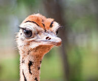 Ostrich chick. Portrait closeup, in the sunshine Royalty Free Stock Image