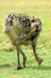 Ostrich chick. A big but young ostrich chick grazing and walking in the savanna of a game park in South Africa Stock Photo