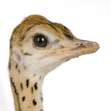 Ostrich Chick Royalty Free Stock Photos