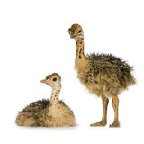 Ostrich Chick. In front of a white background Royalty Free Stock Photography