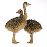 Ostrich Chick Stock Images