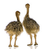 Ostrich Chick. In front of a white background Stock Image