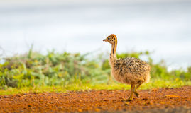 Ostrich Chick. At the Cape of Good Hope, Cape Peninsula, South Africa royalty free stock images