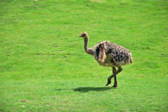 Ostrich chick walking on a green grass field. Photo of a ostrich baby walking on a grass field Stock Photography