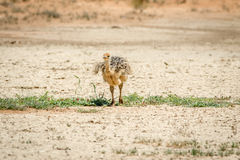 Ostrich chick walking in the sand. Stock Photo