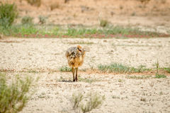 Ostrich chick walking in the sand. Stock Images