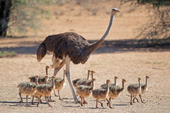 Ostrich with chicks Stock Photo