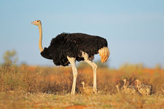 Ostrich with chicks. Male ostrich (Struthio camelus) with chicks,  Kalahari desert, South Africa Royalty Free Stock Images